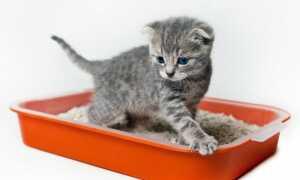 Как быстро приучить кошку к лотку