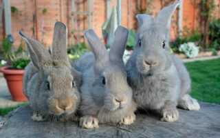 Сколько длится беременность у крольчихи