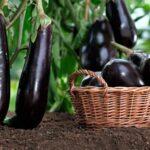 Посадка баклажанов на рассаду в 2019 году: посев семян, выращивание и уход