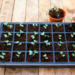 Посадка капусты на рассаду в 2019 году: посев семян, выращивание и уход