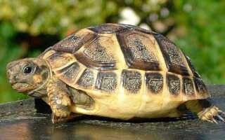 Видыдомашних сухопутных черепах