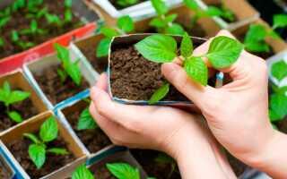 Посадка перца на рассаду в 2020 году: посев семян, выращивание и уход
