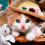 Сколько времени длится течка у кошки