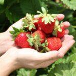 Как ухаживать за клубникой осенью в сентябре, чтобы был хороший урожай