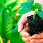Посадка огурцов на рассаду в 2019 году: посев семян, выращивание и уход