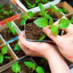 Посадка перца на рассаду в 2019 году: посев семян, выращивание и уход