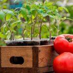 Когда сажать помидоры на рассаду в 2020 году: посев семян, выращивание и уход