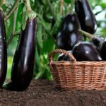 Посадка баклажанов на рассаду в 2020 году: посев семян, выращивание и уход