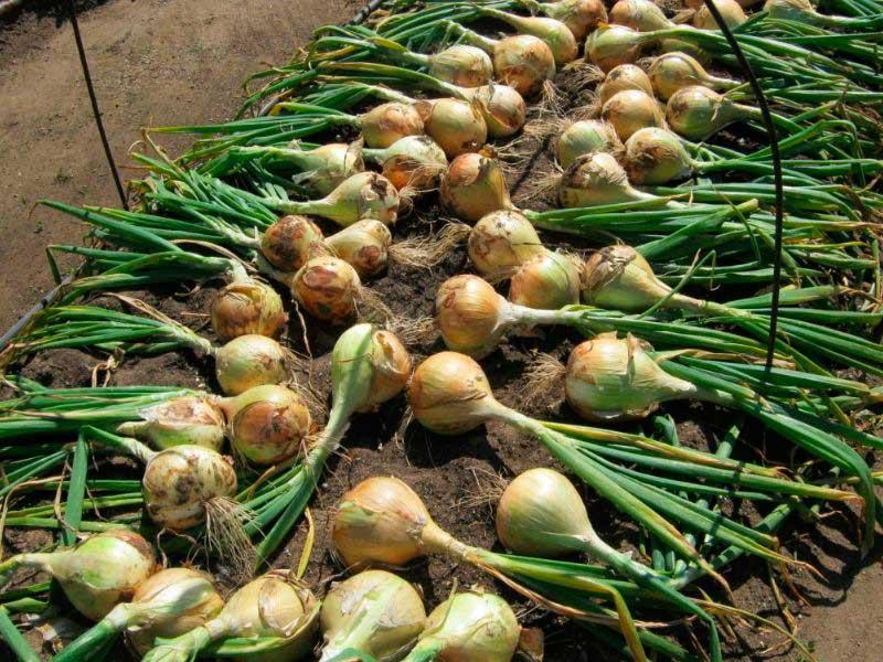 Лук Эксибишен выращивание через рассаду как сажать